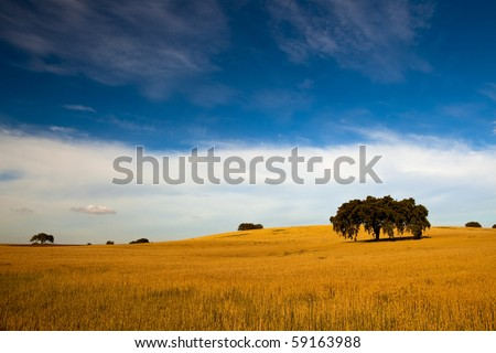 Yellow wheat field with a great blue sky and clouds - stock photo