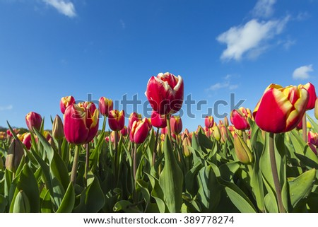 Yellow, white and red dutch tulips in a flowerbed with a blue sky background during Spring season in the Netherlands - stock photo