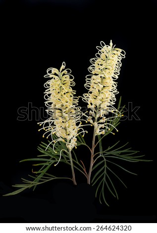 Yellow white Grevillea isolated on Black - stock photo