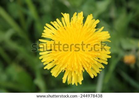 Yellow wild flower dandelion during summer flowering/dandelion yellow - stock photo