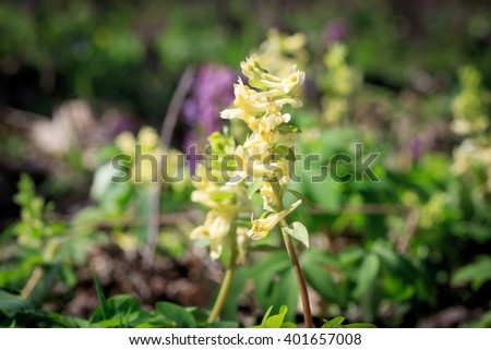 Yellow wild flower in spring forest - stock photo