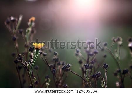 Yellow wild flower in sunset - stock photo