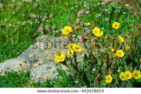 Yellow wild flowers in a meadow close up.  Rocky Mountain National Park, Colorado USA. - stock photo