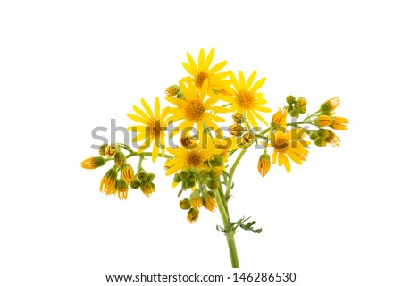 Yellow wild flowers isolated on white background close up. - stock photo