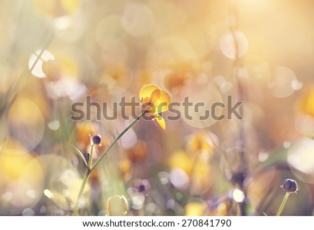 Yellow wild flowers of a buttercup. on a meadow lit with the sun. - stock photo