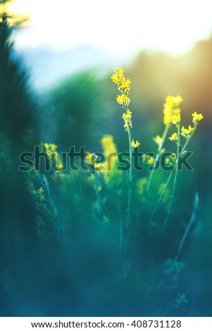 yellow wild meadow flowers on green natural grass background in summer field. Outdoor photo with cold colors