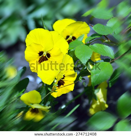 Yellow wild pansy flowers / Viola tricolor/ Alpine violet flowers growing in Swiss Alps - stock photo