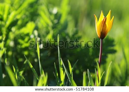 Yellow wild tulip in green grass - stock photo