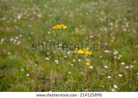 Yellow wildflower and green grass   - stock photo
