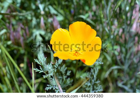 Yellow Wildflower in Bloom - stock photo