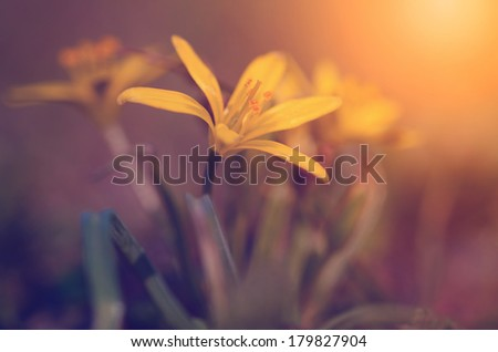 Yellow wildflower in the meadow at dawn - stock photo