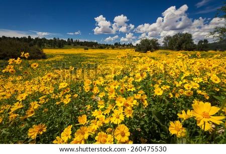 Yellow Wildflower Meadow - stock photo