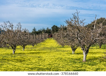 Yellow wildflowers blanket the ground of a Walnut tree orchard in Carmel Valley, in the hills of central California.
