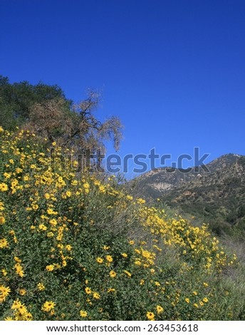 Yellow wildflowers on a hill side, California - stock photo