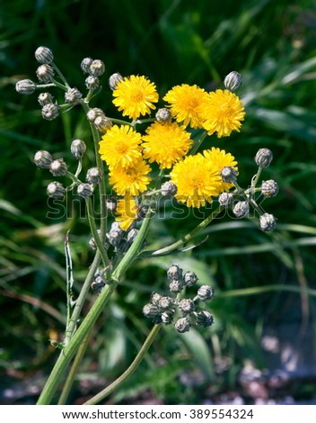 Yellow wildflowers with background out of focus - stock photo