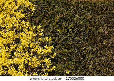 Yellow Winter Jasmine ( Jasminum nudiflorum ) for background  - stock photo