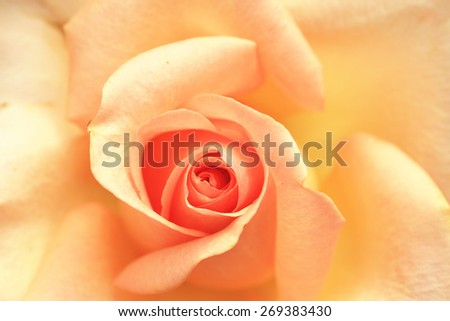 Yellow with orange rose,closeup of beautiful rose in full bloom in the garden in spring - stock photo