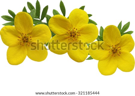 Yellow Yellow Monrovia Potentilla flower isolated on white background - stock photo