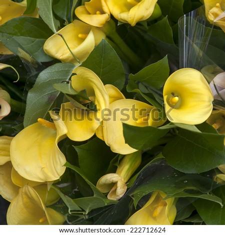 yellow Zantedeschia - stock photo