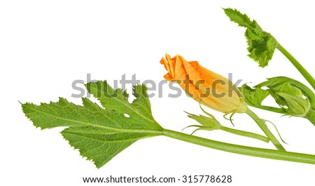 Yellow zucchini blossoms on white background - stock photo
