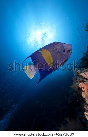yellowbar angelfish and ocean - stock photo