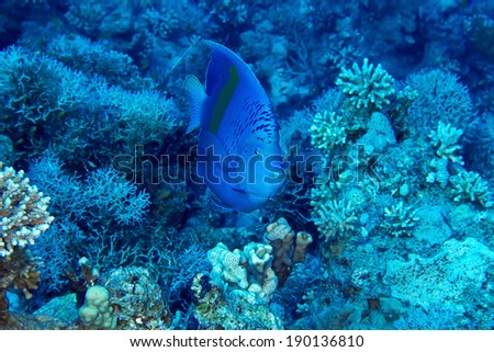 Yellowbar Angelfish (Pomacanthus maculosus) on the background corals in the Red Sea, Egypt. - stock photo