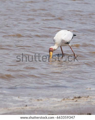 Yellowbilled stork with its beak in the water feeling for food