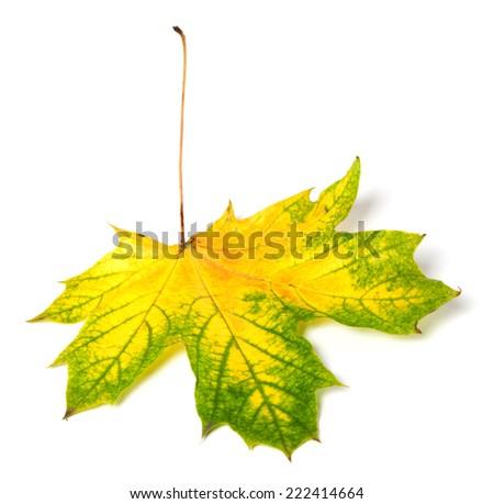 Yellowed autumn maple-leaf. Isolated on white background - stock photo