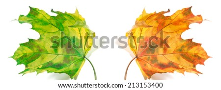 Yellowed autumn maple-leafs isolated on white background - stock photo