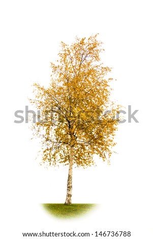 Yellowed birch isolated on a white background - stock photo