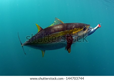 yellowfin tuna fish with a hook and lure in its mouth - stock photo