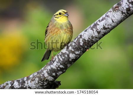 Yellowhammer (Emberiza citrinella) perched on a branch