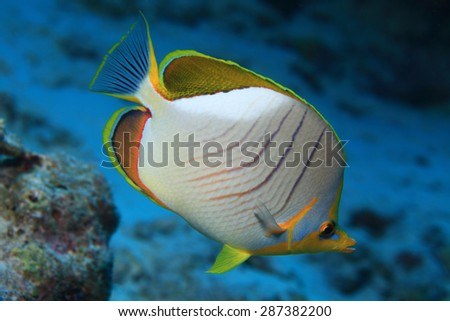 Yellowhead butterflyfish (Chaetodon xanthocephalus) in the tropical coral reef  - stock photo