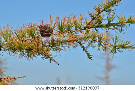 Yellowing larch in the Taimyr tundra. Branch yellowing larch close-up view of the forest-tundra in the Western Putorana plateau.