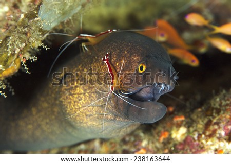 Yellowmargin Moray Eel (Gymnothorax flavimarginatus) with a White Banded Cleaner Shrimp (Lysmata amboinensis) - stock photo