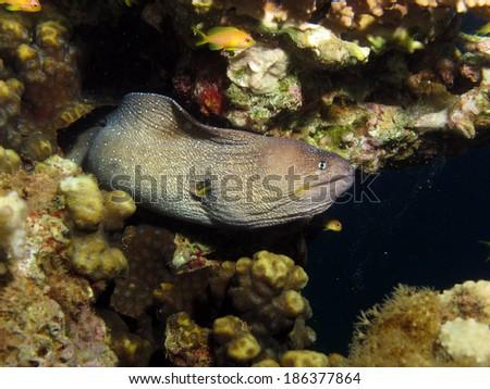Yellowmouth moray (Moray eel) - stock photo