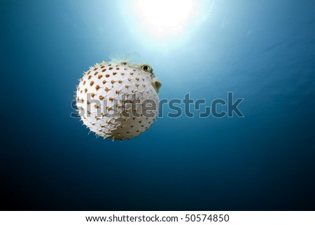 yellowspotted burrfish and ocean - stock photo