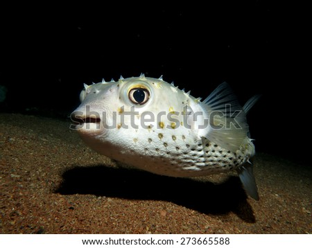 Yellowspotted burrfish/porcupinefish at night - stock photo