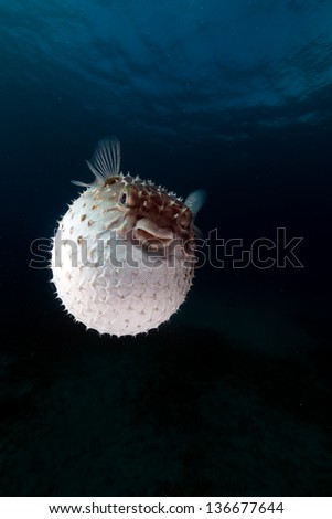 Yellowspotted burrfish using its defense system - stock photo