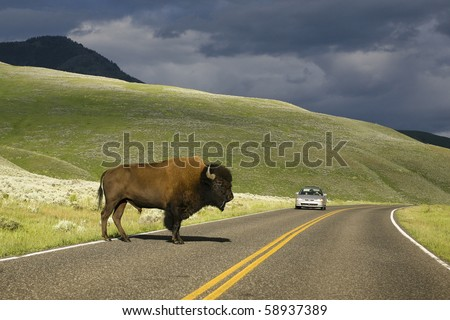 Yellowstone bison are quite comfortable sharing the road with cars - stock photo