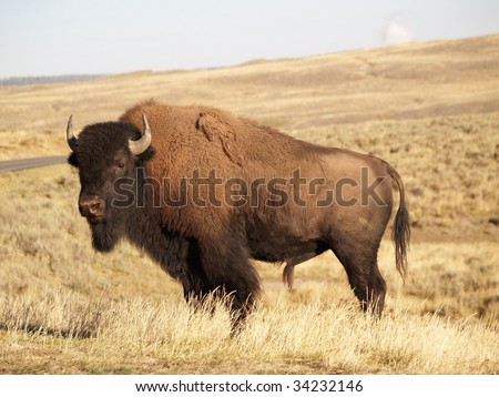 Yellowstone Bison in Autumn