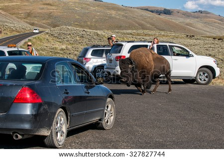 YELLOWSTONE, USA - AUGUST , 18 2012 - Buffalo Bison in Lamar Valley Yellowstone crossing road: people is too close to the animal  - stock photo