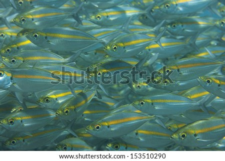 Yellowstripe Scad (Selaroides leptolepis), a large school in Bali, Indonesia. - stock photo