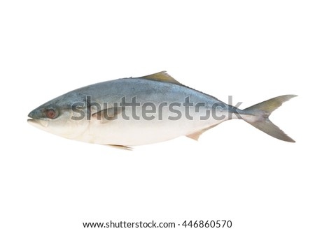 Yellowtail amberjack fish isolated on white background