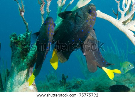 Yellowtail Damselfish on a reef, picture taken in south east Florida.