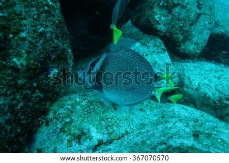 Yellowtail surgeon fish - stock photo