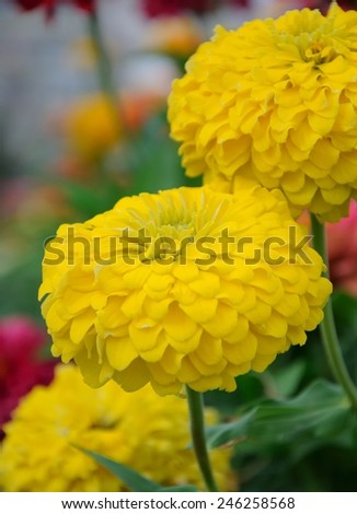 yelow chrysanthemum growing in garden - stock photo