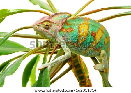 Yemen chameleon isolated on the green leaves on white background - stock photo