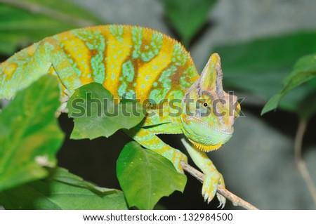 Yemen Chameleon watching - stock photo