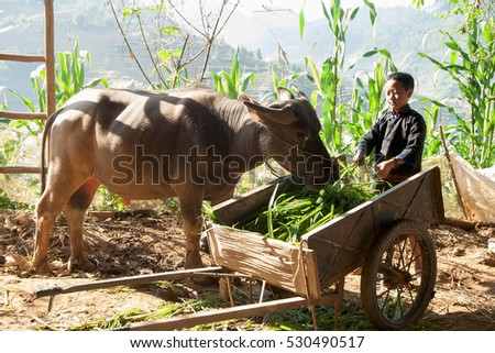 YEN BAI, VIETNAM, April 22, 2016 boys, ethnic Hmong, highland Yen Bai, Vietnam, tending buffaloes